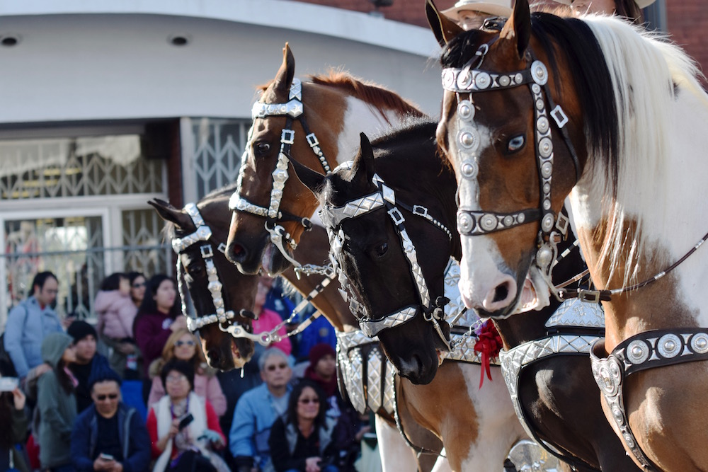 The horses waited patiently during stop-and-go parade.