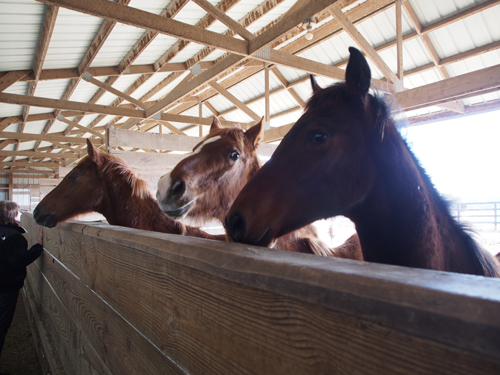 Young horses at Virgil Helm Stables