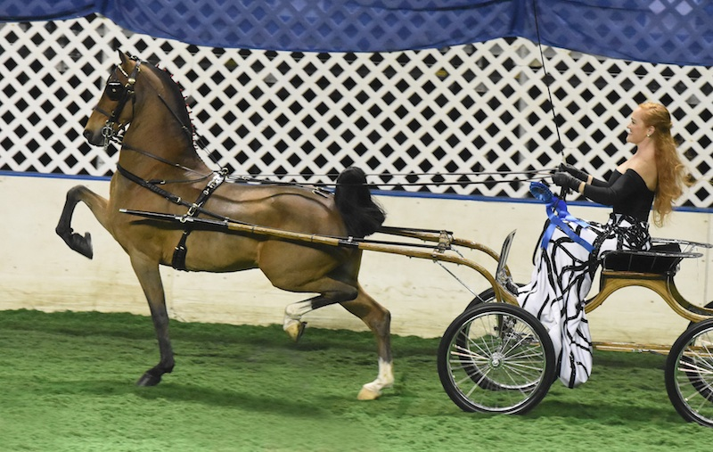 The reigning Hackney Pony World's Grand Champions, Ali drove Craycroft Matador to win the Open Hackney Pony qualifier and Hackney Pony National Championship at this year's American Royal under the Majestic Oaks banner.