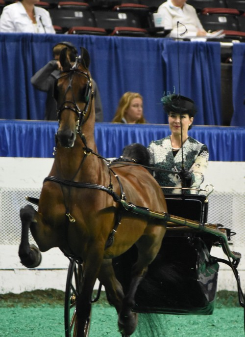 CH Irresistible Design and Elizabeth James Lipscomb had a winning drive in the Adult Show Pleasure Driving Div 1 class.